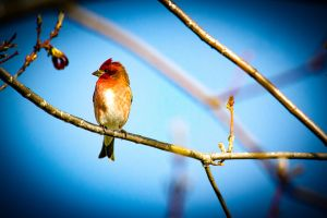 c82-HouseFinch_s.jpg